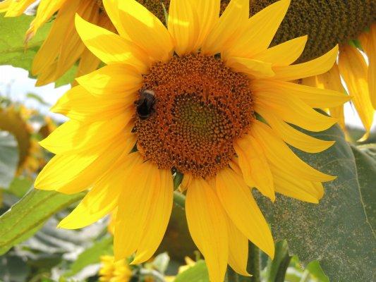sonnenblumenkerne schwarze 25 kg streufutter fettfutter 9000250 heinrichs agrar. Black Bedroom Furniture Sets. Home Design Ideas
